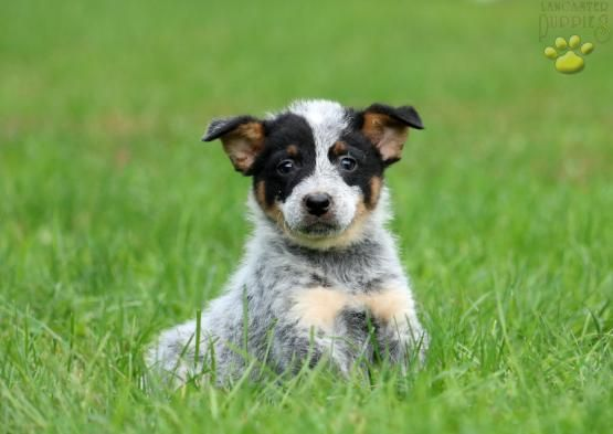 Blueheeler Blue Heeler Puppiesofpinterest Pinterestpuppies Buckeyepuppies Puppies Pups Pup Puppy Funloving S Blue Heeler Puppies Blue Heeler Heeler