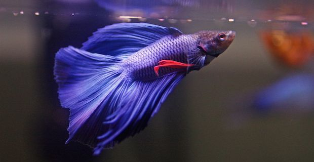 Purple fish gallery for Siamese fighting fish crossword
