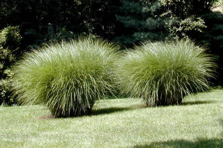 Maiden Grass Next To Our Patio For Privacy Curb Appeal