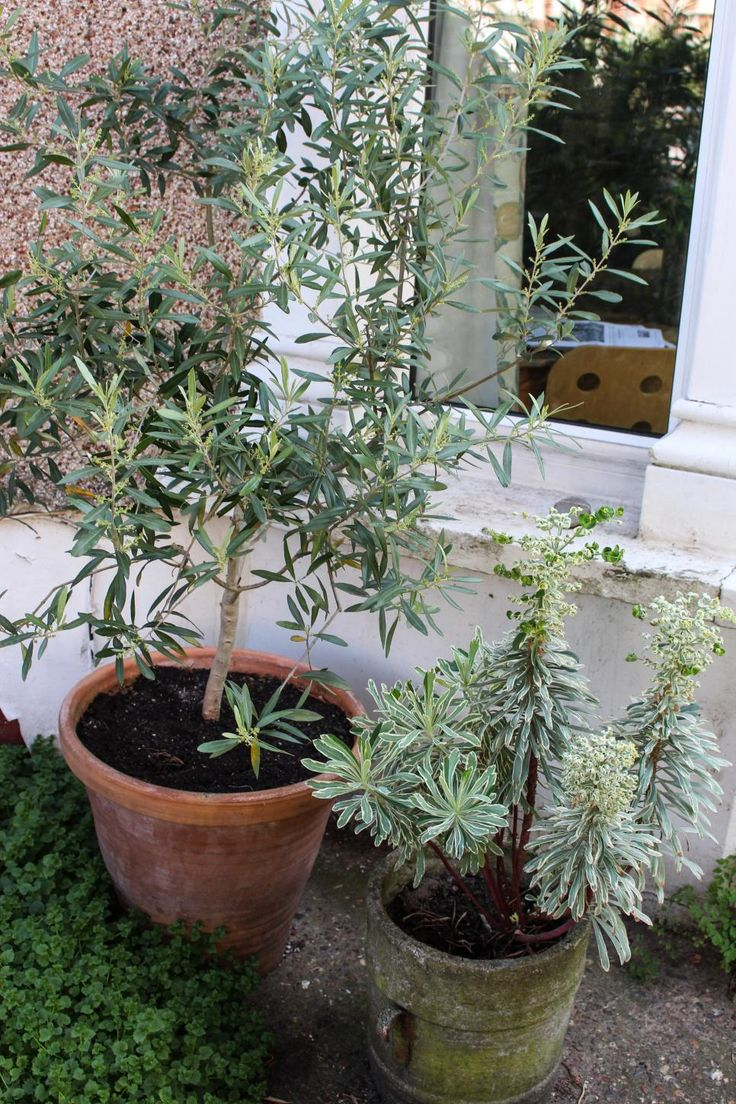 English Garden Style Olive tree care, Indoor olive tree