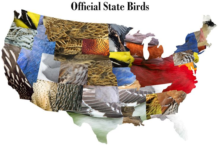 Official state birds-could be used for anything state specificBirds Prints, Birds Club, Official States, Usa States, States Birds, Interesting Visual, Birds Lov, Interesting Maps, Birds Maps