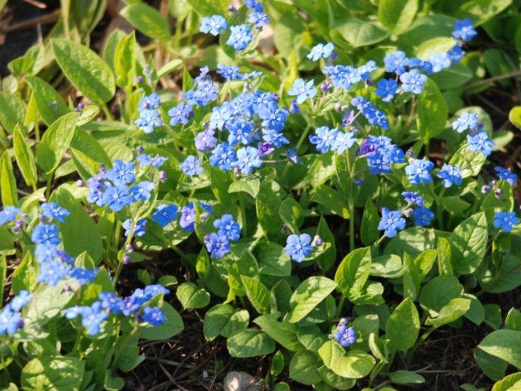 Ułudka wiosenna - Omphalodes verna - Byliny - Baza roślin - rosliny.urzadzamy.pl