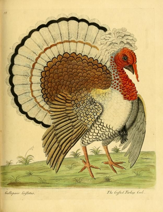 Crested Turkey Cock. A natural history of birds v. 2 London :Printed for the author and sold by William Innys in St. Paul's Church yard, John Clarke under the Royal-Exchange, Cornhill, and John Brindley at the King's Arms in New Bond-Street,MDCCXXXI-MDCCXXXVIII [1731-1738]. Biodiversitylibrary. Biodivlibrary. BHL. Biodiversity Heritage Library