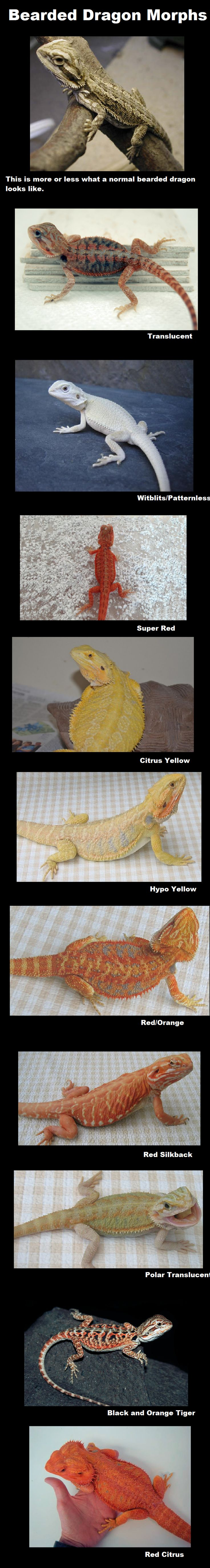 Bearded Dragon Morphs #funny #lol #humor