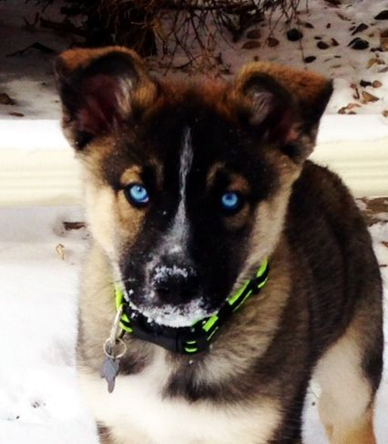 German Shepherd Husky Mix Oh Those Gorgeous Eyes Cutest Puppies