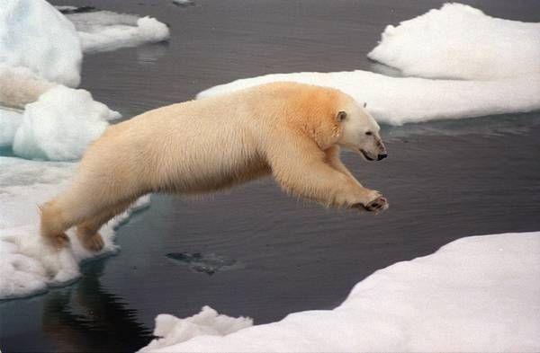 """Sos surriscaldamento del Pianeta. """"Sparirà un terzo degli orsi bianchi"""""""