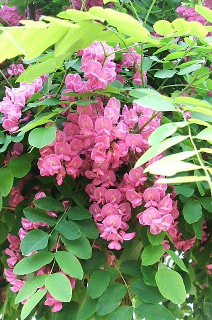Fleurs de carambole   Robinia 'Casque Rouge' est un robinier à fleurs roses. , Photo de ...