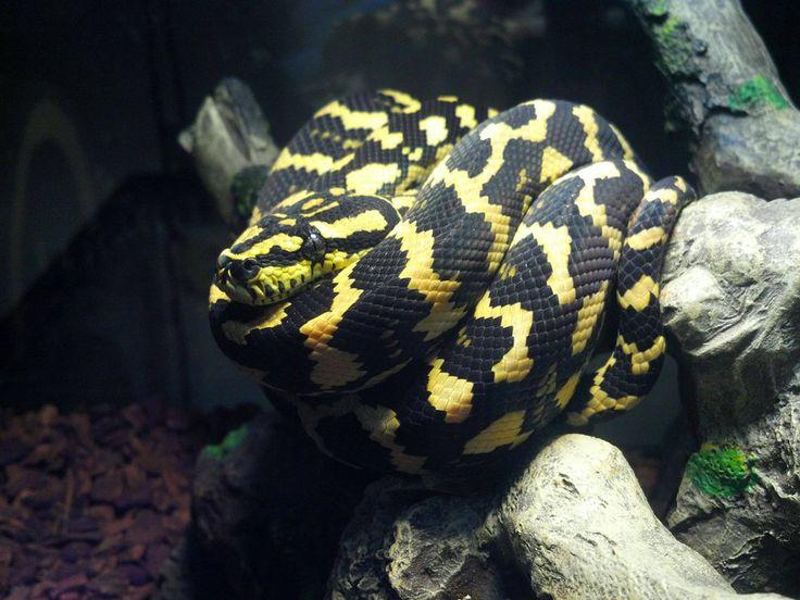 Jungle Carpet Python  Tattoo Ideas  Pinterest  Carpets