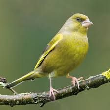 Image result for greenfinch