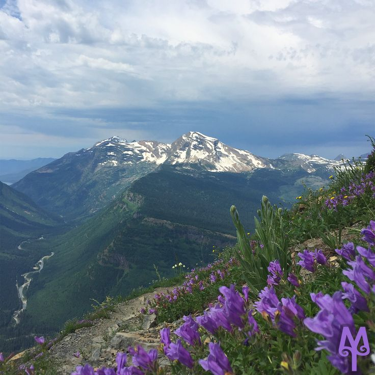 Views of Heavens Peak from the Highline Trail, amidst wild penstemons flowers in Glacier National Park...Locate this photo on the Montana Treasure's Glacier National Park Photo Map. Select Menu item 'G22' to view it and and its location on an underlying Google map.