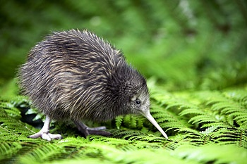 Kiwi Bird from New Zealand