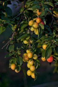 prune-cerise chum La prune-cerise (Chum) La prune-cerise, ou cerise-prune, ne semble pas encore avoir de nom officiel en français. On l'appelle 'chum' en anglais, pour la contraction de 'cherry'et 'plum'. Cet arbrisseau fait partie des prunes interspécifiques. C'est un croisement entre un arbuste, cerisier des sables, et la prune japonaise. Pour ajouter à la confusion, nous pourrions la décrire comme une petite prune ou une grosse cerise. Ce qui nous enchante, c'est quelle arbore les…