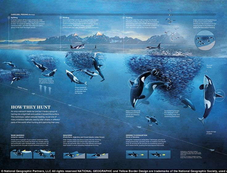 In the same year 'How They Hunt' was released, describing how killer whales hunt for food.'An orca matriarch leads her pod as it herds a group of herring into a tight ball and pushed it toward the surface,' the infographic says. 'This technique, called carousel feeding, is just one of many inventive methods used by killer whales in different parts of the world y'