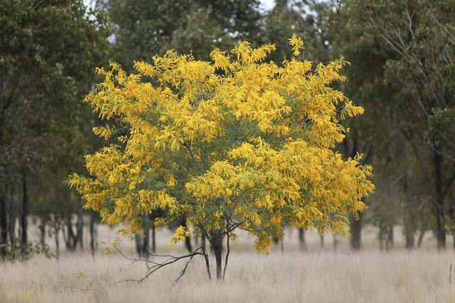 Learn Why Australia's National Flower is the Golden Wattle: Australia: Golden Wattle
