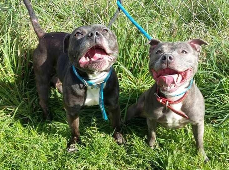 Meet Sky And Bruno They Are Staffordshire Bull Terrier Litter Mates Of 6 Years And Came In To Us Staffordshire Bull Terrier Bull Terrier I Love Dogs