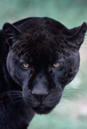 Black Jaguar~
