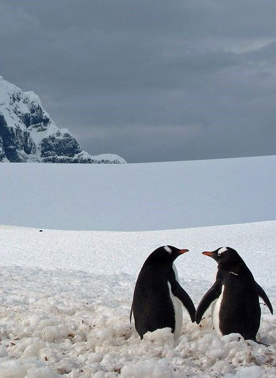 """I took this picture at Port Lockroy during my trip to Antartica. The two penguins almost touching flippers, looking at each other, and captured against the majestic frozen background, seemed..."
