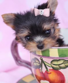 Micro Teacup Yorkie Puppy by TeaCupsPuppies.com