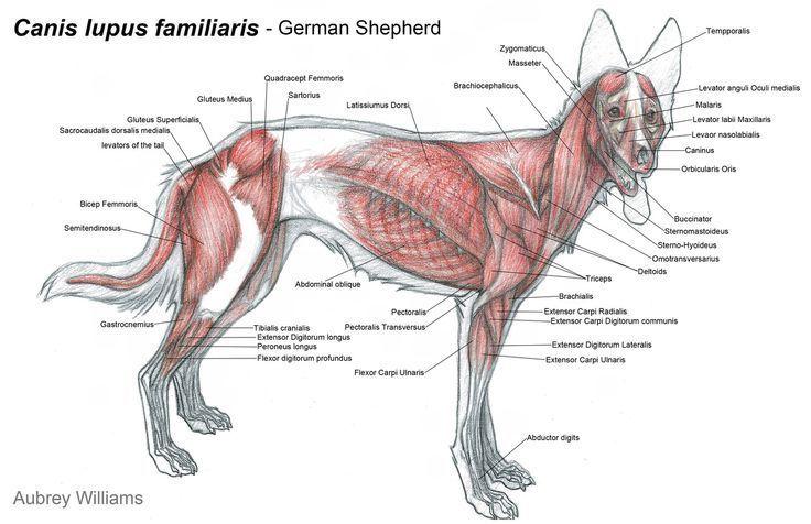 Image Result For Animal Anatomy Diagram Dog Anatomy Animal Anatomy Anatomy
