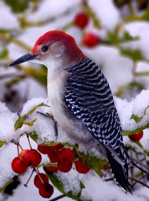 I love this woodpecker's bright red head! It reminds me of Rudolph The Red Nosed Reindeer!