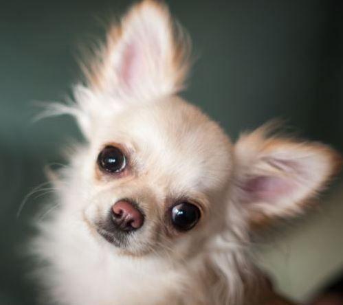 Tancherry Chihuahuat – Uusi Nettisivu.Org -sivusto