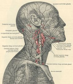 Superficial lymphatic system and lymph nodes in the area of the head, neck and face