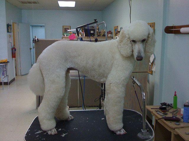 Poodle lamb cut | Best Breed Ever! Poodles | Pinterest ...