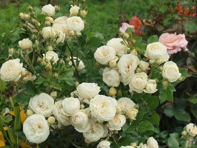 Чтобы розы как можно дольше радовали пышным цветением, за ними нужно правильно ухаживать, в частности, правильно подкармливать
