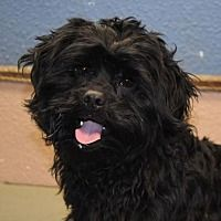 Prosser, Washington - Cocker Spaniel. Meet Checkers, a for adoption. https://www.adoptapet.com/pet/20466653-prosser-washington-cocker-spaniel-mix