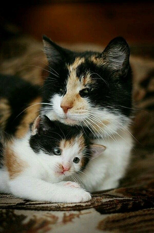 Calico Cat With Interesting Gps >> Cute Calico Mama And Kitten Snuggling Calicos And Tortoiseshells