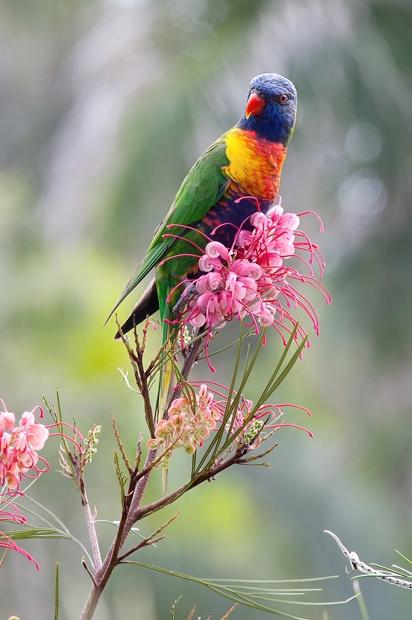 rainbow lorikeet on grevillea