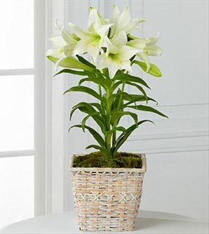 Spring Blessings Easter Lily Plant