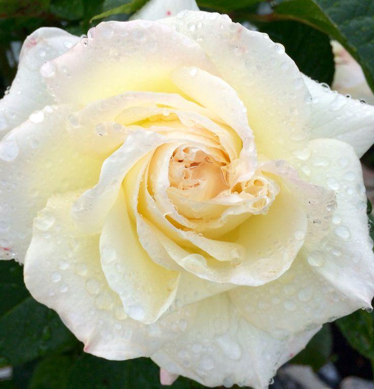 Роза в саду после дождя