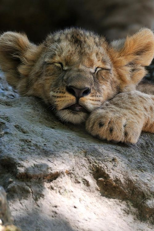 10 images about lions and tigers on pinterest sleep. Black Bedroom Furniture Sets. Home Design Ideas