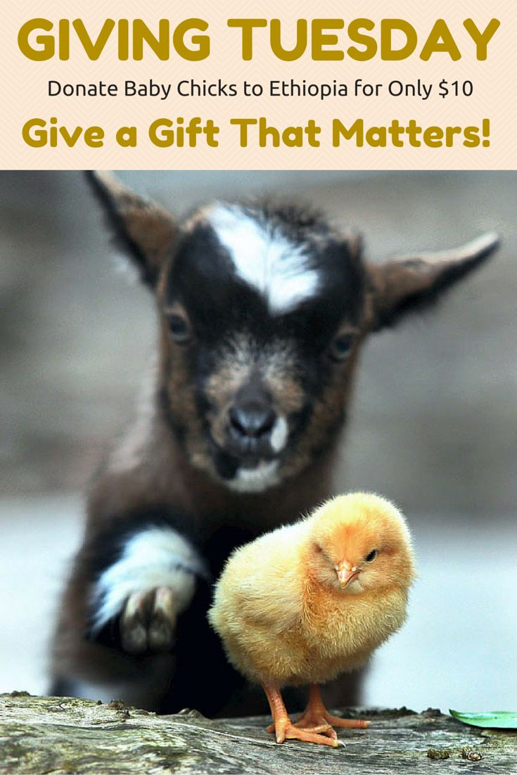 Happy #GivingTuesday! #Donate Baby Chicks to Ethopia for only $10! With Interac matching #donations today it's like you're donating a whole flock! https://www.canadahelps.org/en/charities/canadian-hunger-foundation-chf/givingtuesday-give-a-chick