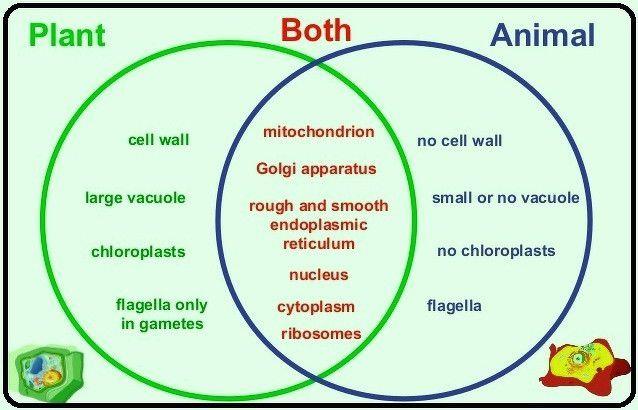 Plant Vs.animal Cell Venn Diagram Lovely A Venn Diagram On ...