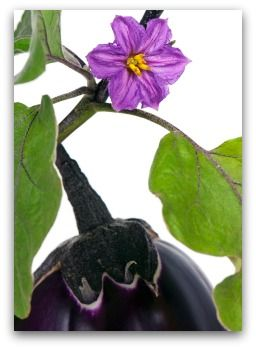 All About Growing Eggplant In A Backyard Or Container Vegetable Garden.  Learn How To Plant