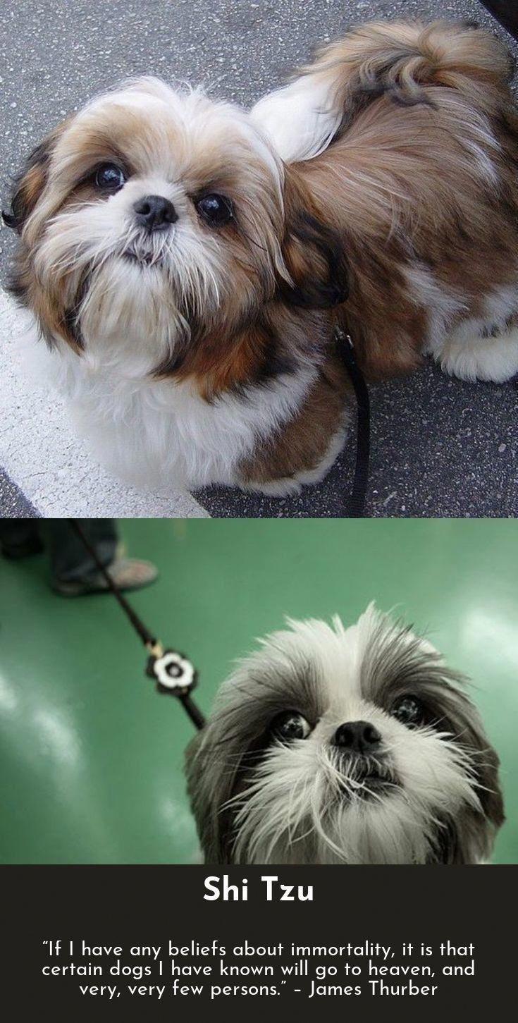 Shihtzufacts Shih Tzu Puppy Shih Tzu Dog Shih Tzu