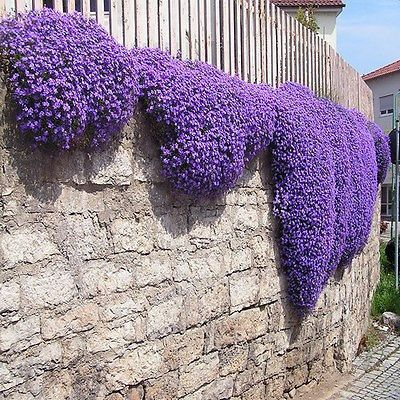 Rock Cress Cascading (Aubrieta Hybrida Superbissima Cascade Purple) - If you want a low growing plant to hang out of baskets, hang over a rock wall, or just add to your landscaping color, this Aubriet