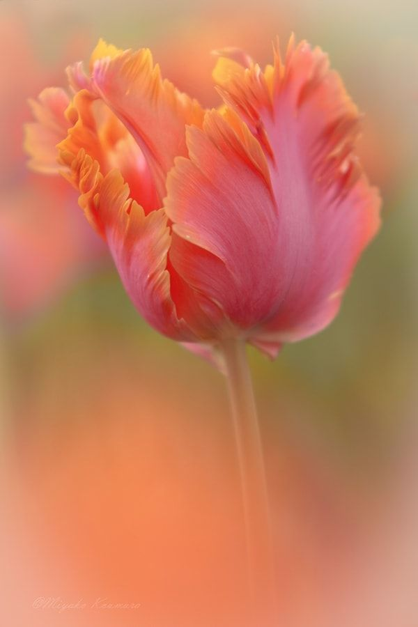 ~~angel wings | tulip | by Miyako Koumura~~