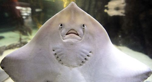 stingray face - Google Search | Stingray | Frowny face ...