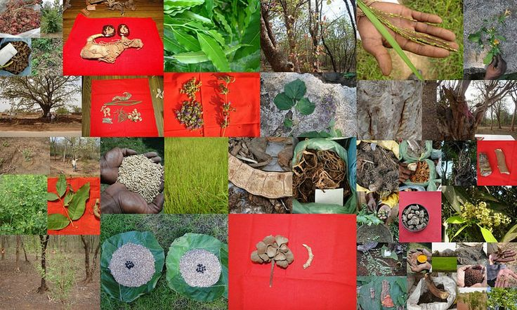 Medicinal Rice based Tribal Medicines for Diabetes Complications and Metabolic Disorders (TH Group-700) from Pankaj Oudhia's Medicinal Plant Database