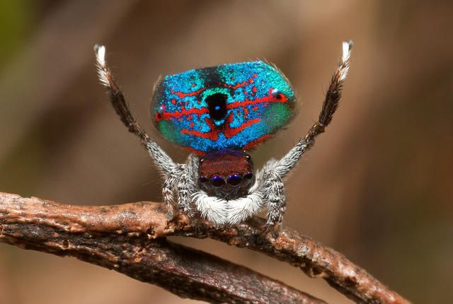 5 Flashy Facts About Peacock Spiders. They're fuzzy, they're flashy, and they've got great moves.