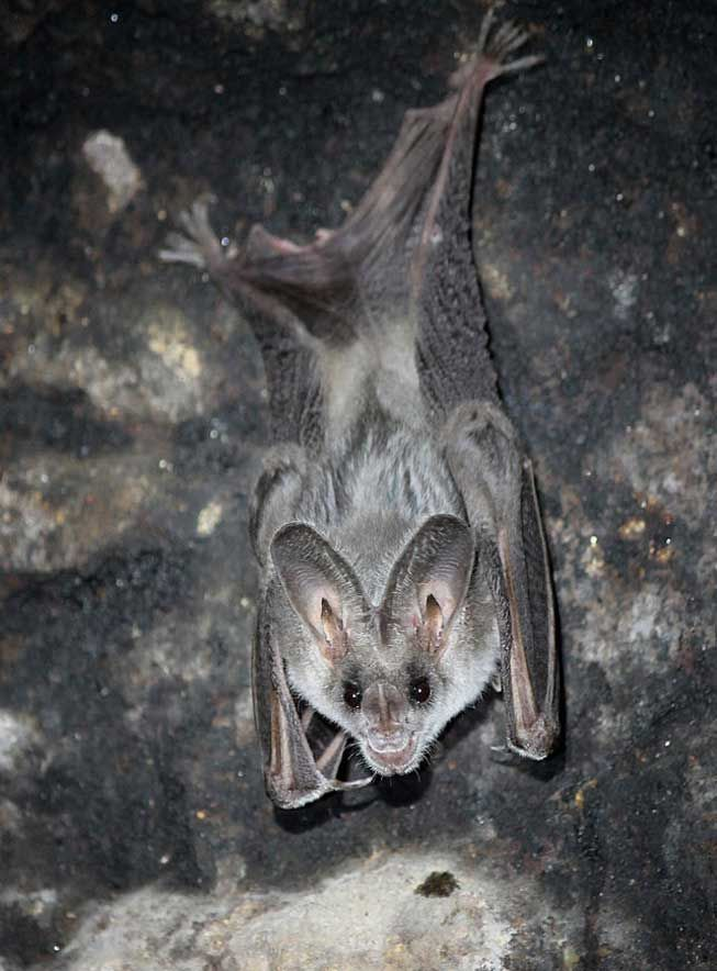 So cute it's scary, the greater false vampire can detect prey in the dark without even using echolocation.