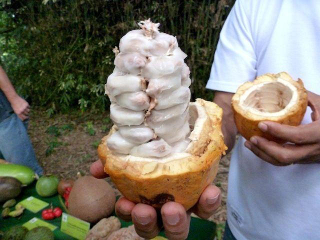 Open cacao pod, CATIE, Costa Rica. Mmmm Chocoolate