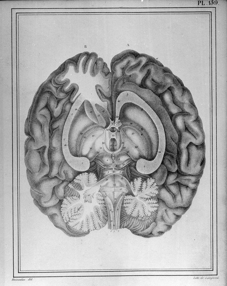 Cerveau posé sur sa base  litho  Manuel d'anatomie descriptive du corps humain Edition : Paris : Béchet Jeune, 1825-1930  Dessinateur : Haincelin Lithographie : Langlamé Empl. de l'image : vol. 3, pl. 159 Technique : Lithographie