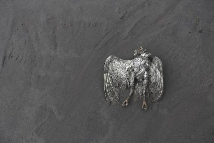 BROKEN WINGS: A dead bird lay covered in ash from the erupting Mount Sinabung in North Sumatra, Indonesia on  January 14, 2014 | © Beawiharta | Reuters