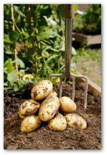 How to Grow Potatoes, How to Plant Potatoes, and Harvesting Potatoes