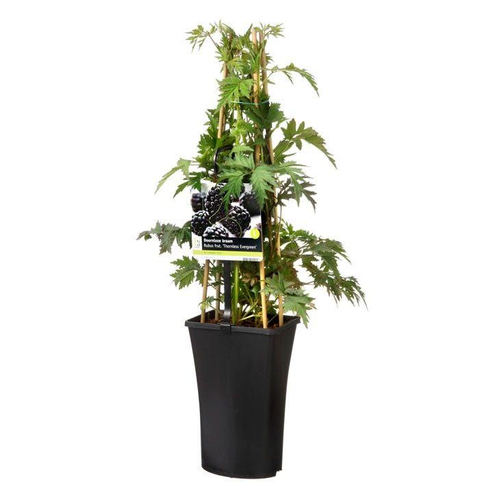 Doornloze braam (Thornless evergreen)