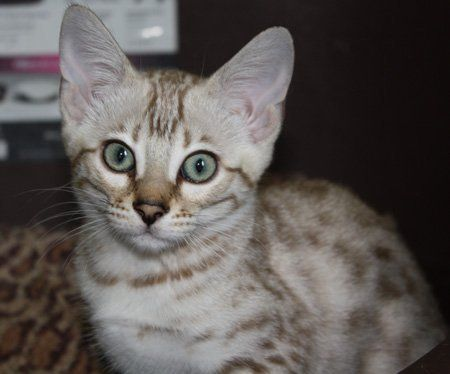 Snow bengal kittens for sale nh